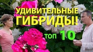 Розы с яблочным ароматом, бесшипные, самоочищающиеся, ультраморозостойкие ругозы.